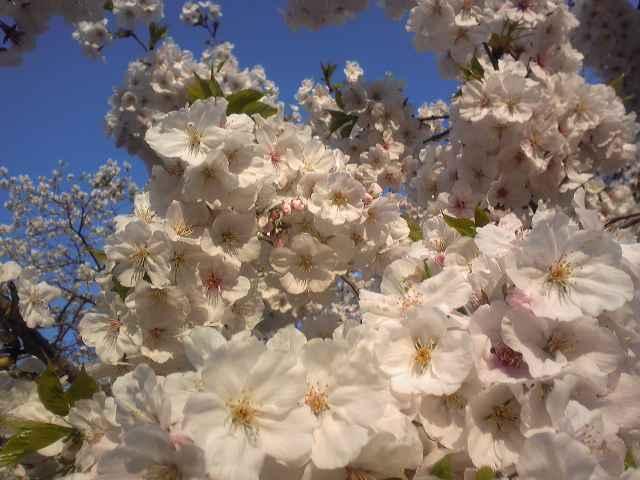 三島大社、桜 満開?